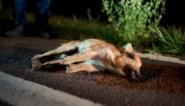 Na dood van tweede wolf: wat (niet) te doen als je een dier aanrijdt? Dat blijkt nog niet zo eenvoudig
