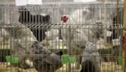Ophokplicht in Nederland voor commerciële kippenboeren na aantreffen vogelgriep