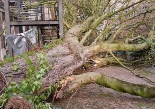 Storm velt 130 jaar oude boom op campus HoGent