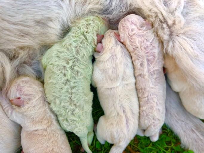 Uiterst zeldzaam: groen hondje geboren in Italië