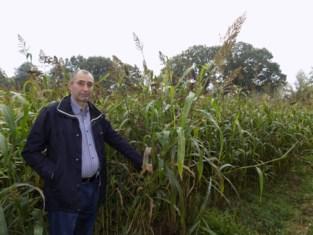 Landbouwer in Kempense Aa-vallei installeert klimaatrobuust gewas in plaats van maïs