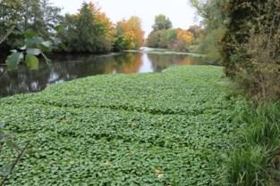En toen lag er (opnieuw) een dik groen tapijt op de Oude Maas