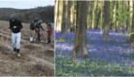 Het meest sprookjesachtige bos van Vlaanderen is de laatste vijftien jaar fors gegroeid