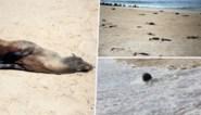 """Meer dan 7.000 dode zeehonden aangetroffen op strand: """"Nog geen duidelijke doodsoorzaak"""""""