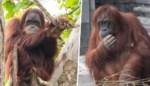 Pairi Daiza verwacht dubbele orang-oetangeboorte