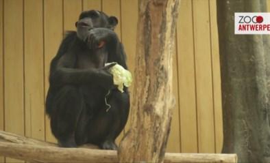 Twee nieuwe chimpanseevrouwtjes voor Zoo Antwerpen