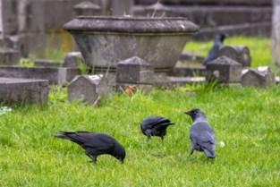 """Kraaien ploegen hele grasperken om: """"Ze eten alles, dus laat geen eten slingeren. Ook niet voor eendjes"""""""
