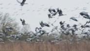Als de wind goed zit, trekken komende dagen duizenden kraanvogels over Limburg