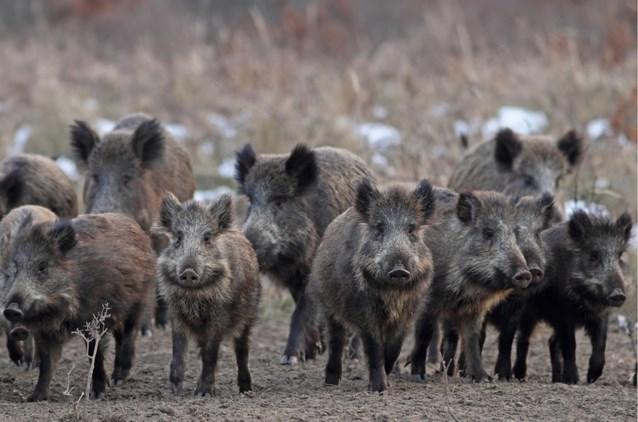 """Jagers mogen avondklok overtreden om """"populatie everzwijnen te controleren"""""""
