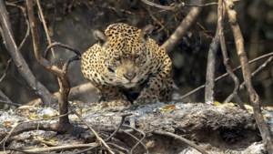Handel in jaguars vanuit Zuid-Amerika naar China piekt