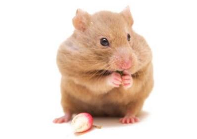 Dit is de meest kindvriendelijke hamster (maar ze houdt niet van knuffelen en slaapt overdag)