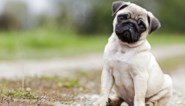 Dierenasielen overspoeld door jonge dieren: na lockdown was dat hondje niet meer nodig