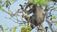 Pas ontdekte apensoort met uitsterven bedreigd