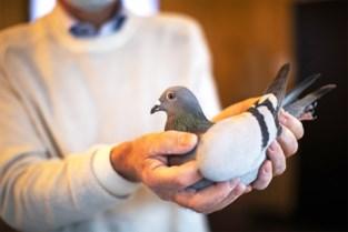Berlaarse duivenveiling klokt af op monsterbedrag van 9,5 miljoen euro