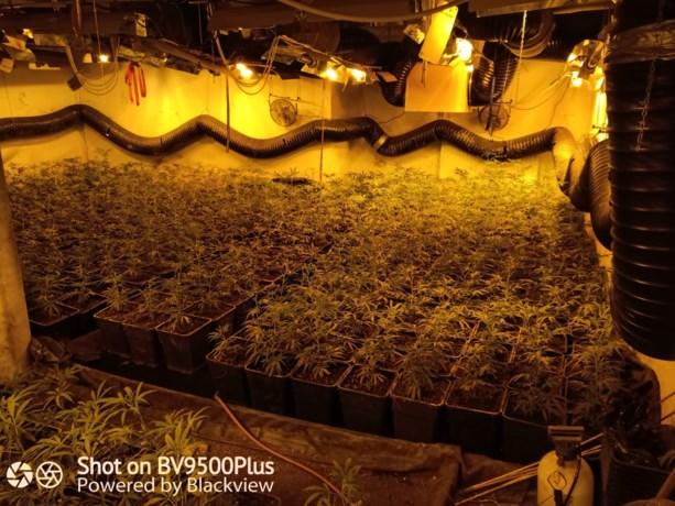 Politie ontdekt 1.400 cannabisplanten in Mol-Rauw