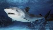 Man sterft bij aanval door haai in Australië en dat brengt de teller op 8 slachtoffers in 2020