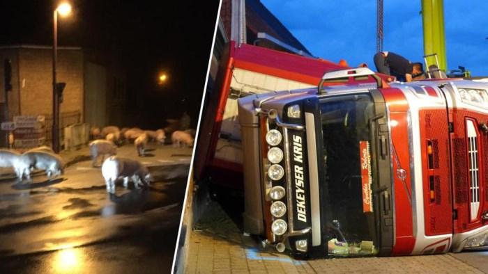 """Boete en rijverbod voor truckchauffeur die kantelt met tweehonderd varkens aan boord: """"Hij heeft zijn lesje geleerd"""""""