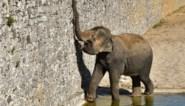Grootste kudde van Europa wordt nog groter: opnieuw babyolifantje verwacht in Pairi Daiza