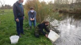 Wilde neef van goudvis nog nauwelijks te vinden in Vlaanderen, maar op deze plek vindt hij wel nog voldoende slakjes en insecten
