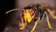 """""""Invasie van Aziatische hoornaar niet te stoppen"""": 'monsterwesp verspreidt zich razendsnel over Vlaanderen"""