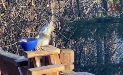 Hilarisch: eekhoorn eet per ongeluk gefermenteerd fruit en is ladderzat