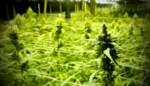 """Cannabiskwekers riskeren zware celstraffen maar vragen rechter mild te zijn: """"Mijn cliënt heeft hier financieel zijn broek aan gescheurd"""""""