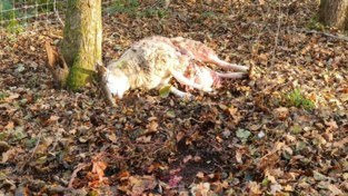 Twee schapen slachtoffer van nieuwe wolvenaanval in Oudsbergen