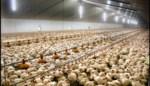 Tienduizenden kippen afgemaakt door vogelgriep in Meens bedrijf