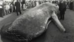 Visserijmuseum blijft dicht tot 2023: niet door corona, wel door komst meterslange potvis Valentijn