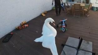 Vermoeide zwaan landt op terras in Tienen