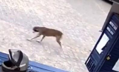 Hond is wel erg enthousiast wanneer hij vrouw ziet op straat… en doet dan dit
