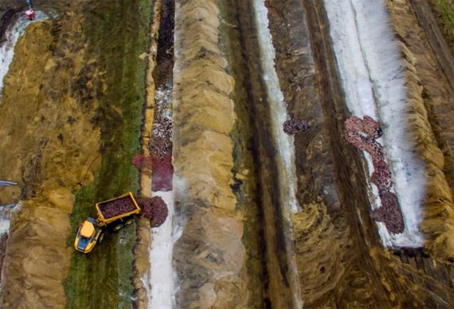 Denemarken overweegt gedode nertsen weer op te graven