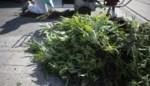 Politie ontdekt bijna 550 cannabisplantjes naast school