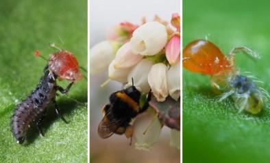 Hoe een Vlaamse kweker de grootste werd met miljarden minuscule beestjes voor 'biologische oorlogsvoering'