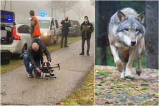 """Politie zet drone in, maar zoektocht naar aangereden wolf stopgezet: """"Vermoedelijk is hij terug naar huis"""""""