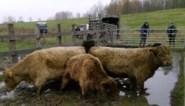 Twaalf Schotse gallowayrunderen overwinteren in overstromingsgebied aan Durme (maar niet om dagtoeristen te vermaken)
