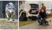 """Aangereden wolf gelokaliseerd met drone: """"Het kan om August gaan"""""""