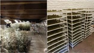 Meer dan 4.000 cannabisplanten vernietigd bij resem invallen, jaaropbrengst wordt geschat op 3,6 miljoen euro