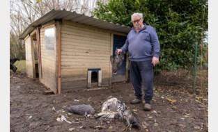 """Bloedbad in kinderboerderij door vos: """"Zware dobber en niet de eerste keer"""""""