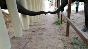 'Eenzaamste olifant ter wereld' raakt voor het eerst in jaren soortgenoot aan