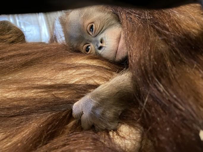 Orang-oetan geboren in Pairi Daiza