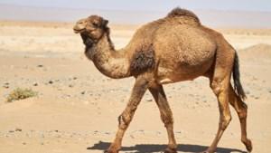 Marokkaanse politie vindt 1.000 kilo hasj op... dromedarissen