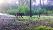Wolf heeft zich definitief gevestigd in natuurgebied op Nederlands-Belgische grens