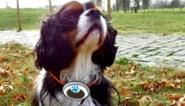 Meer dan helft van onze honden is te dik: nu geeft UGent hen ook stappentellers