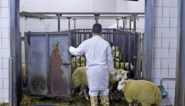 """""""Een zwarte dag voor dierenwelzijn"""": draait Europa de klok terug op verbod op onverdoofd slachten?"""