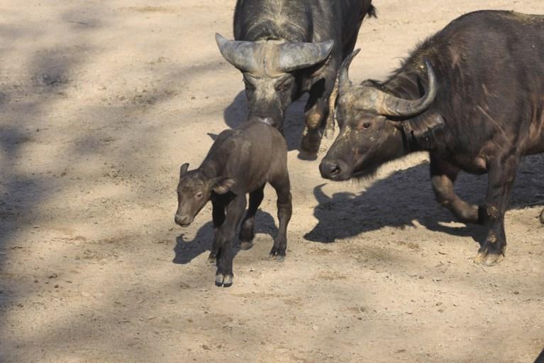 Het was een druk jaar voor de ooievaar van Pairi Daiza: meer dan veertig baby's waarvan enkele die in het wild uitgestorven zijn