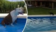 Alerte viervoeter verricht heldendaad om blinde pitbull uit zwembad te redden