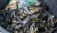 Unilever test stof uit zeewier in strijd tegen bacteriën
