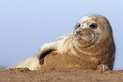 """""""Schattig, maar het zijn bijters"""": De Panne zoekt vrijwilligers om aangespoelde zeehonden tegen nieuwsgierigen te beschermen (en omgekeerd)"""