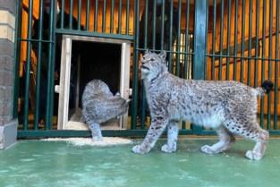 Zeven lynxen, kaaimannen en slangen verhuizen van Litouwen naar Natuurhulpcentrum